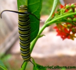 A monarch caterpillar on butterfly weed: if you want butterflies in your garden, give 'em their favorite food!